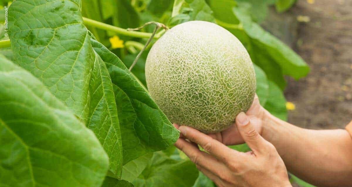 Ciclo final de frutas merece atenção e manejo nutricional adequado