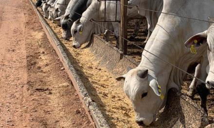 Controle sanitário eficaz é essencial para o ganho de peso dos bovinos em confinamento