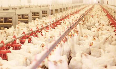 Reovírus e as consequências de sua ação na avicultura