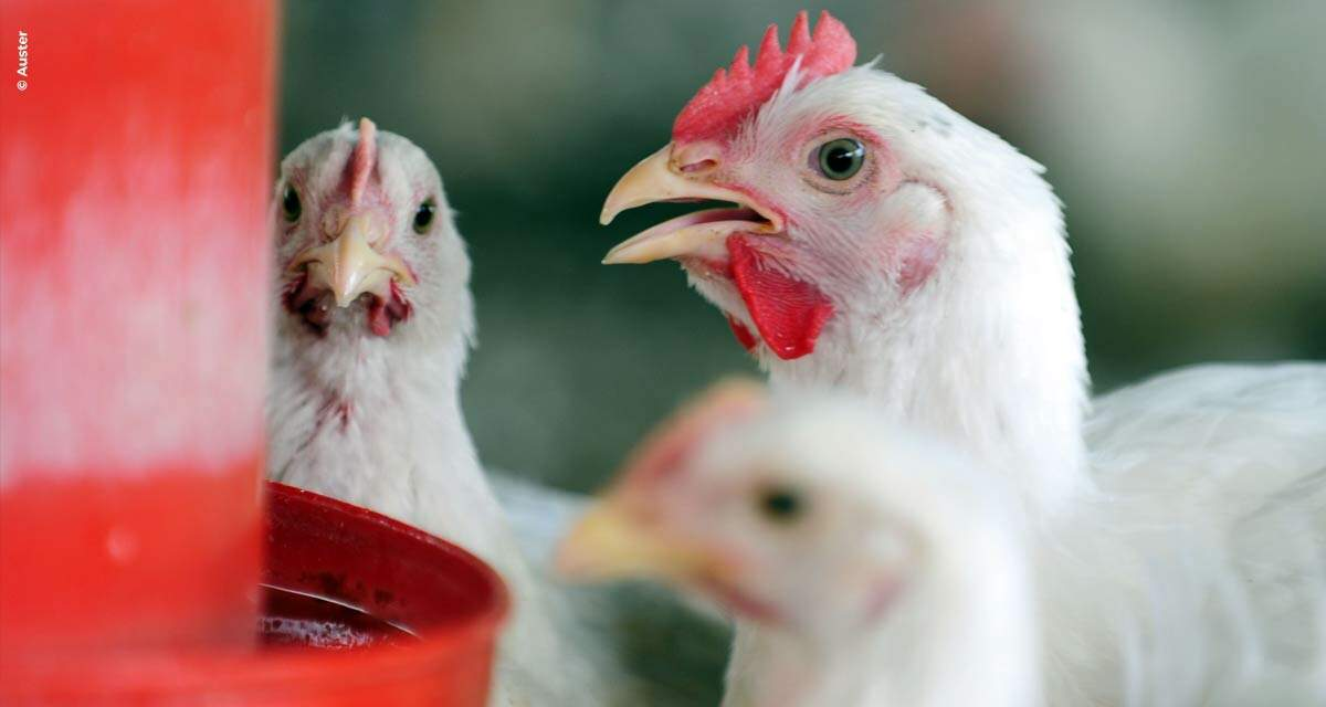 Nutrição adequada minimiza efeitos de estresse térmico em aves de corte, recuperando a produtividade