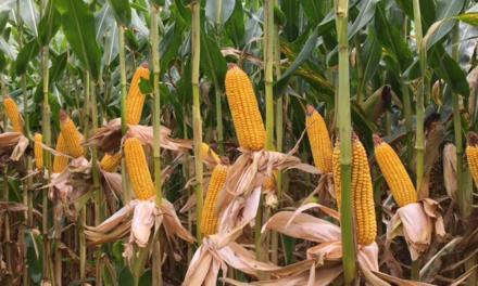 Bayer realiza semana especial para debater a produção de milho no Brasil