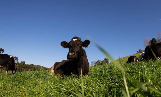 Como o trigo aumenta a produtividade e gera mais lucro na propriedade pecuária