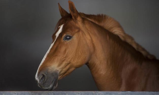 Feridas em equinos atuam como porta de entrada para uma série de doenças