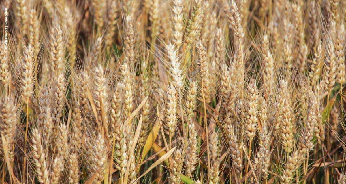 Zoneamento orienta sobre riscos climáticos no cultivo de cevada