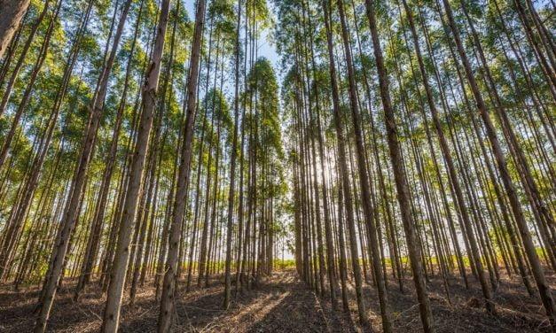 Presença de plantas daninhas pode reduzir em até 75% produtividade em florestas plantadas