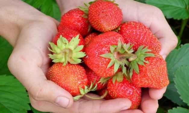 Morango: produtores ávidos por inovação desenvolvem a fruta altamente nutritiva e com consumo expressivo