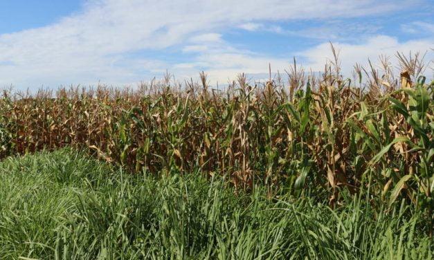 Encontro digital vai abordar as vantagens do consórcio de braquiária com milho