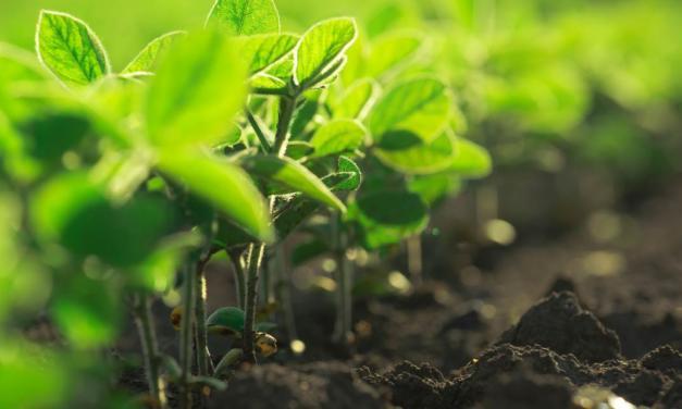 Proteção do baixeiro é essencial para o manejo efetivo das machas foliares na cultura da soja