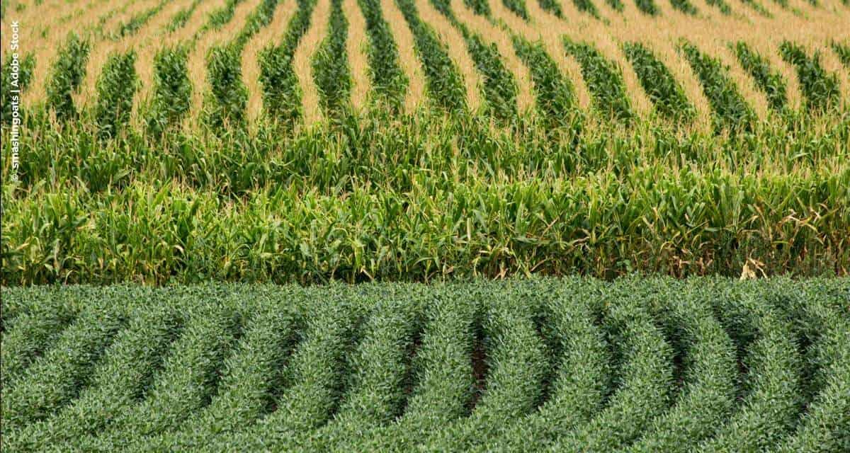 Os nutrientes cálcio e enxofre contribuindo como construtores de altas produtividades de milho e soja