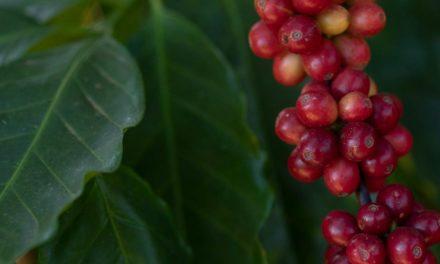 Lançamento da Região Vulcânica destaca cafés produzidos em Poços de Caldas e cidades próximas