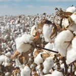 Produtores de algodão vivem expectativa para nova safra na Bahia