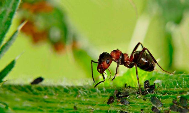 Formigas podem transmitir mais fungos e bactérias que baratas