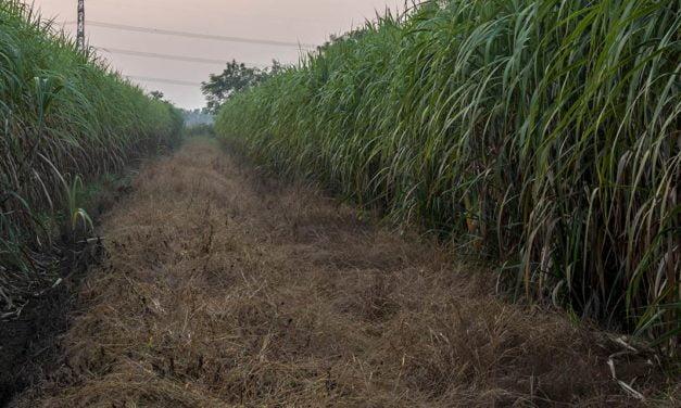 Entenda a importância do manejo de daninhas na cana durante a soca seca