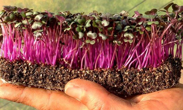ISLA Sementes promove curso de Cultivo de Microverdes com conteúdo completo