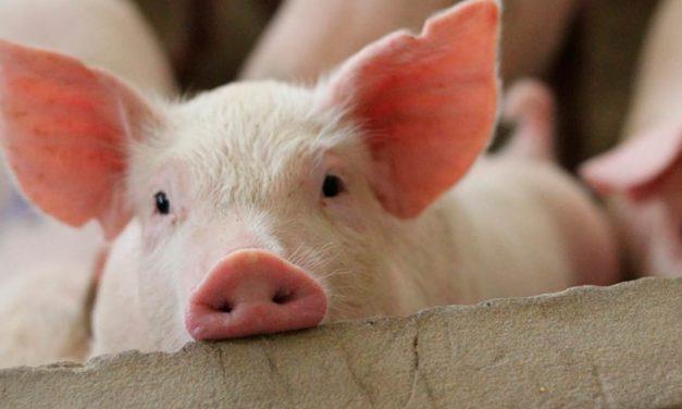 Biosseguridade e cuidados com o manejo animal podem prevenir pandemias futuras
