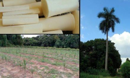 Secretaria de Agricultura e Abastecimento de SP pesquisa produção de palmito para ampliar opções no mercado
