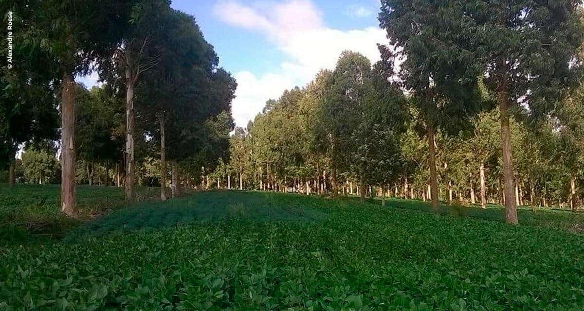 Pesquisa comprova que árvores no campo reduz doença na lavoura