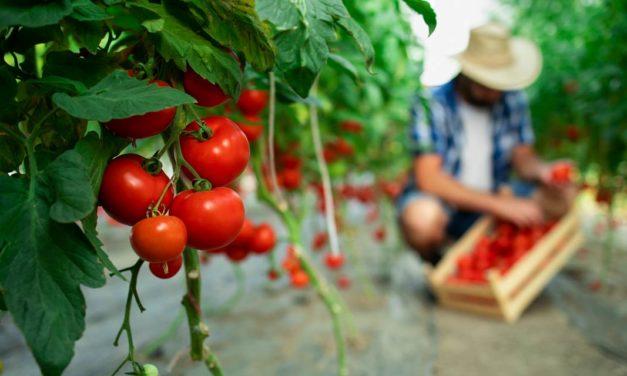 Ajinomoto® Fertilizantes: 7 motivos para usar aminoácidos no manejo da cultura de tomate