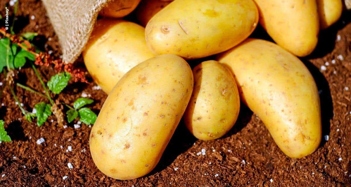 Yara apresenta novidades sobre o cultivo  e a comercialização da batata em evento online