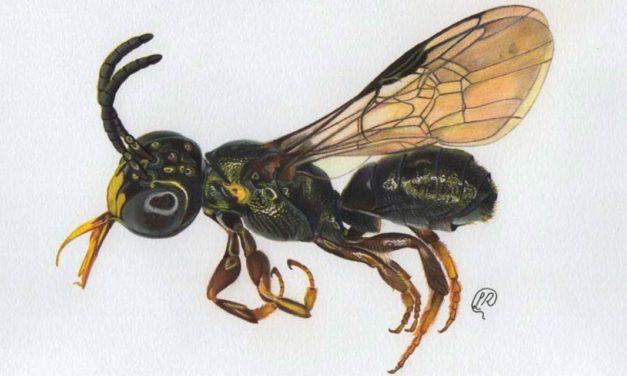 Nova espécie de abelha é descoberta em fazenda modelo de Goiás