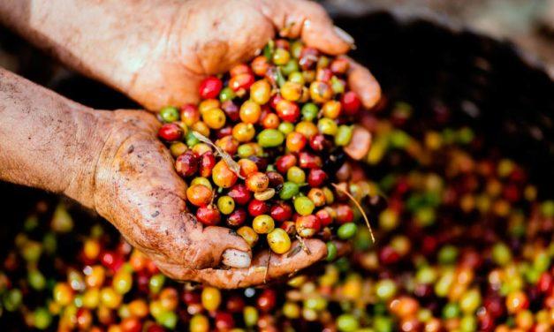 Conab projeta redução da produção de café