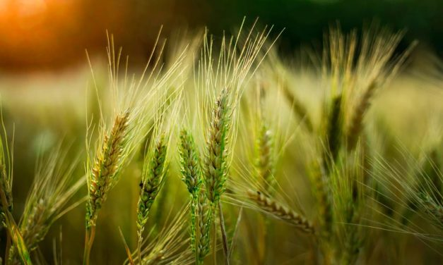 Novo zoneamento agrícola do trigo