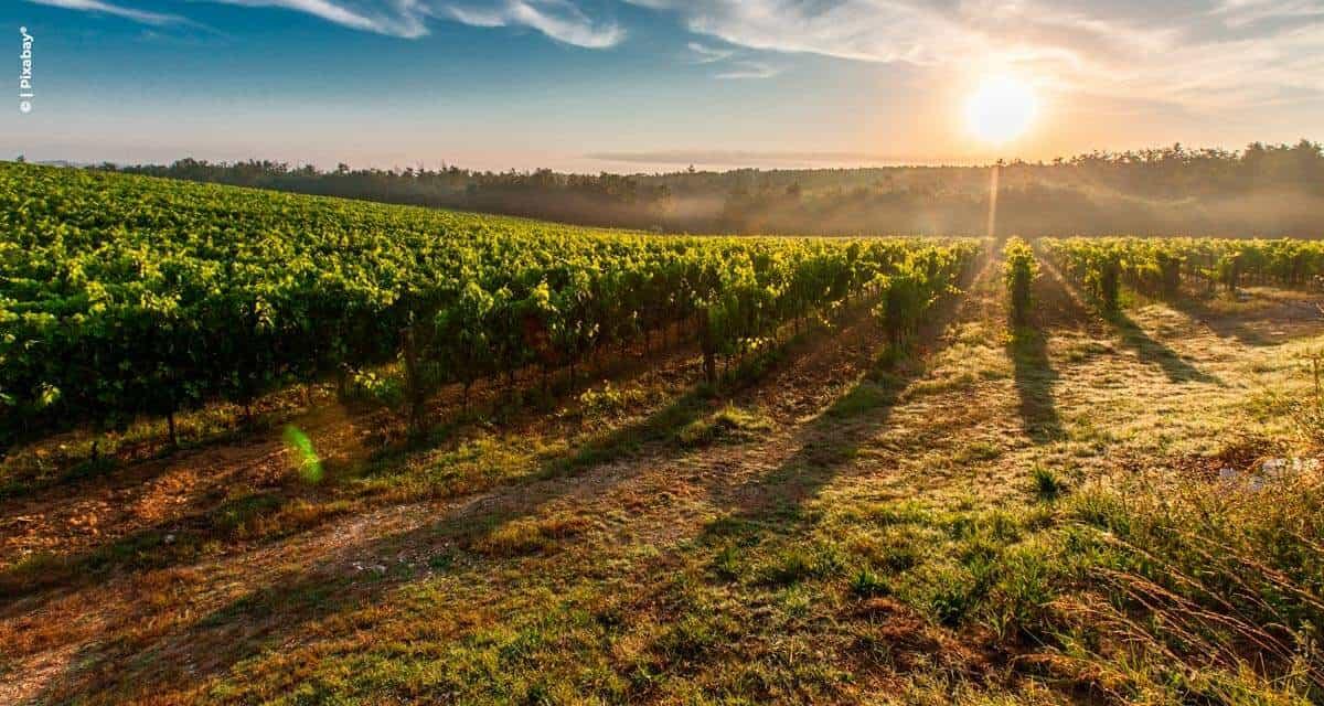 Muito sol e pouca chuva garantem excelente doçura das uvas