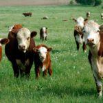 Chuvas de verão propiciam aumento da incidência de carrapatos no rebanho bovino