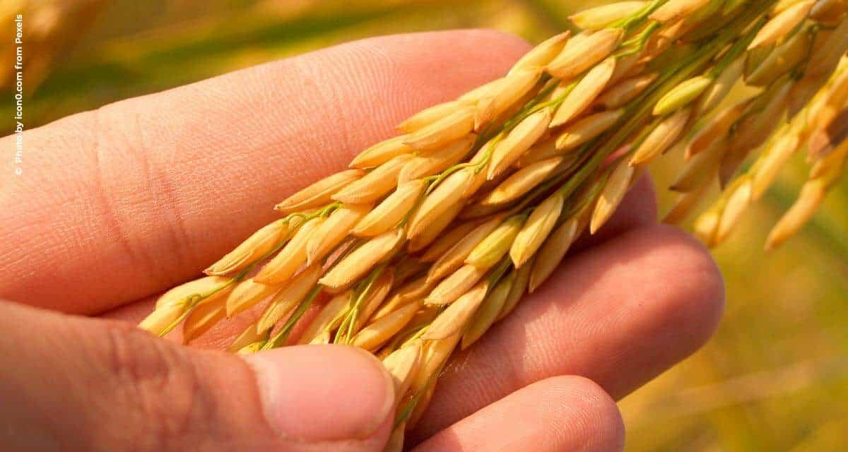 Produtores de arroz gaúchos miram exportações em 2021