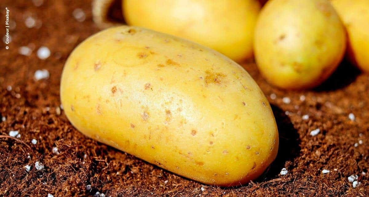 Como o fósforo foliar pode exercer um papel fundamental na nutrição da batata?