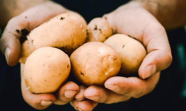 Batata exige tecnologias para proteção contra bactérias e fungos e aumento da produtividade por área