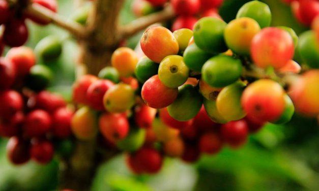 Pragas e doenças do café: saiba como controlar ameaças que devastam a produtividade e a qualidade dos grãos
