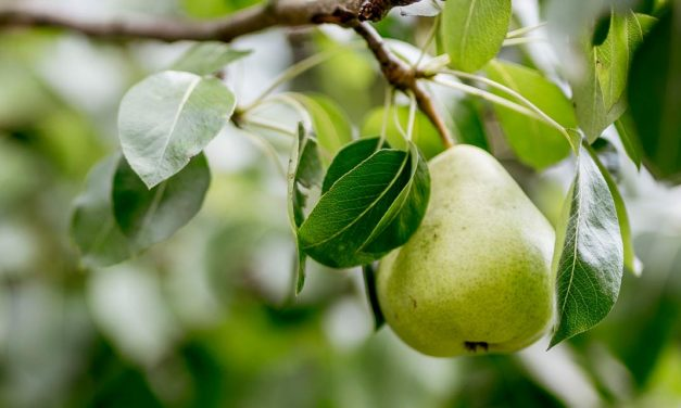 Produtores investem no cultivo da pera no Vale do Taquari