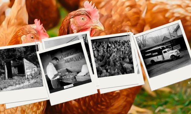 Hubbard comemora 100 anos de compromisso com o melhoramento avícola