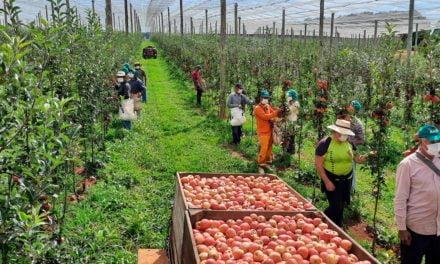 Vacaria, no Rio Grande do Sul, espera 12 mil trabalhadores para a colheita da maçã