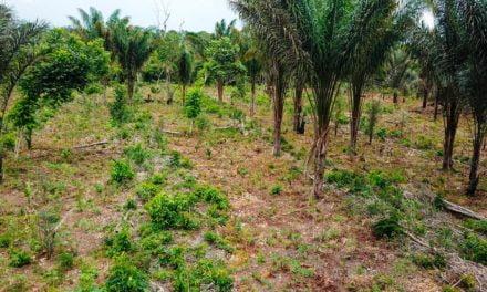 Agrofloresta: implantação do sistema de cultivo mudou relação com a natureza e aumentou a renda de famílias em Juruti (PA)