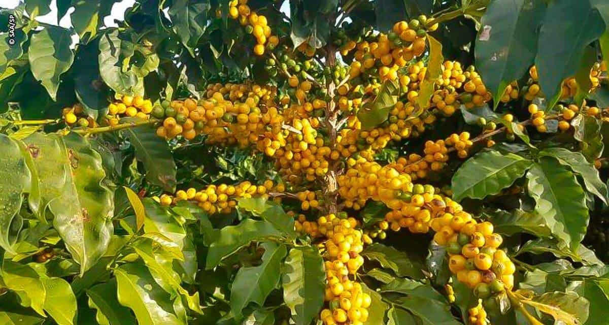 Cafeicultores de Garça pedem registro de indicação geográfica da região como produtora de cafés de alta qualidade