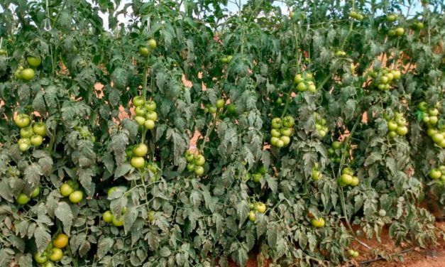 Produtividade e segurança: tomate Tyson leva ao produtor um pacote de resistência às principais doenças