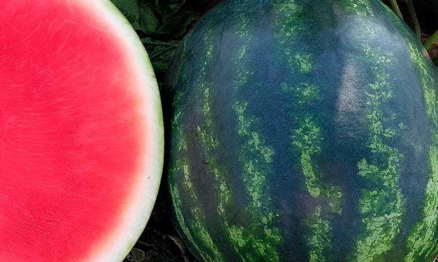 Aprovada pelo produtor e pelo consumidor, Melancia Arriba tem menos sementes e muito mais sabor