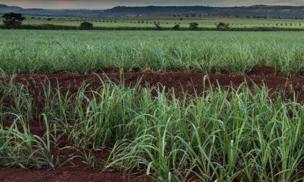 Atvos amplia plantio com semente artificial de cana-de-açúcar em colaboração com Syngenta