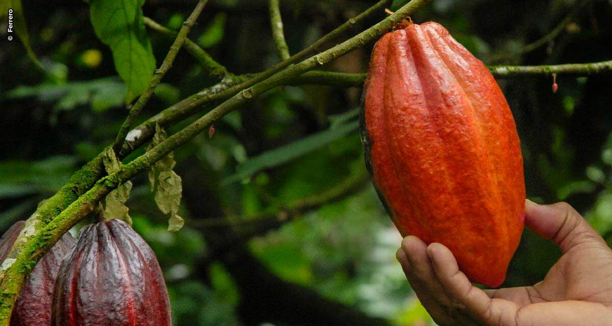 Ferrero anuncia sua meta atingida de 100% de uso de cacau sustentável