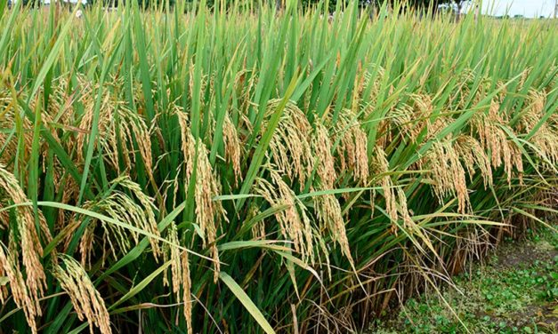 Ciência leva o Tocantins ao terceiro lugar na produção nacional de arroz