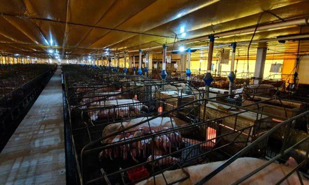 Granja de suínos registra 92,9% menos mortes dos animais com uso do ozônio