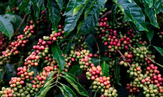 Café brasileiro: exemplo para o agronegócio global