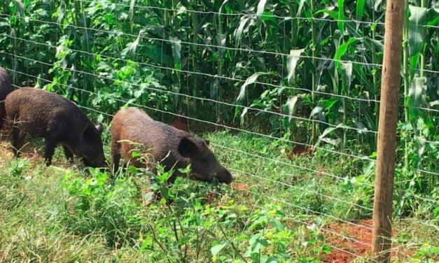 Animais silvestres podem provocar quebra de até 10% nas lavouras. Cercas prontas minimizam prejuízos dos produtores rurais