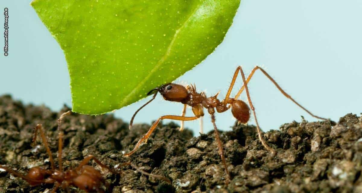 Tecnologia auxilia no controle de formigas cortadeiras