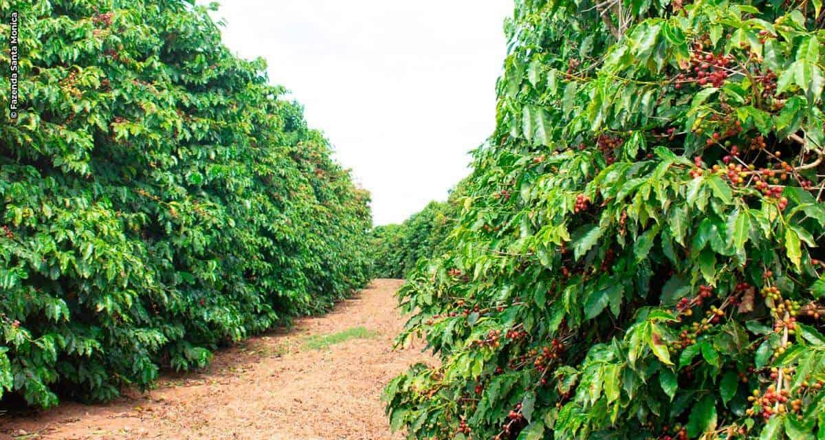 Santa Monica comemora Dia Nacional do Café com crescimento na colheita, em vendas e nas exportações