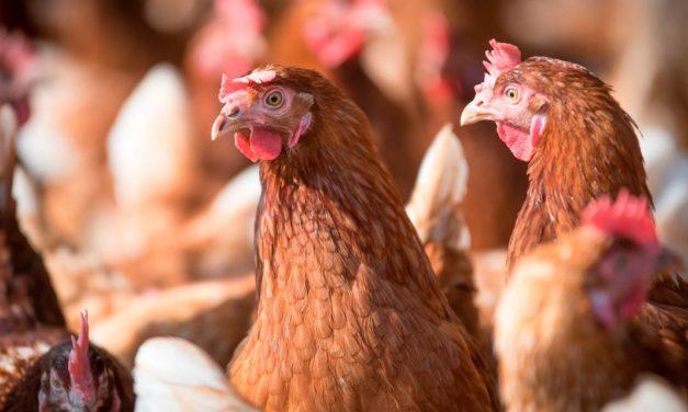 Poedeiras mais velhas exigem cuidados nutricionais específicos para garantir ovos de qualidade e produção