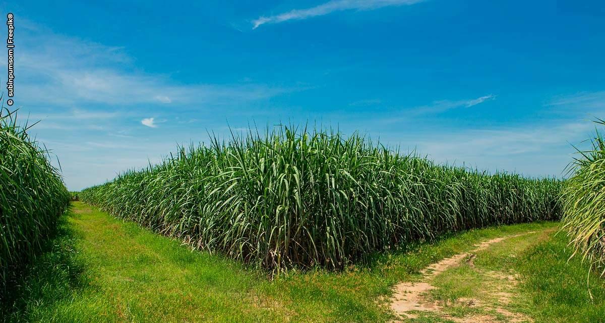 Bayer reforça a importância do manejo de plantas daninhas na cultura da cana