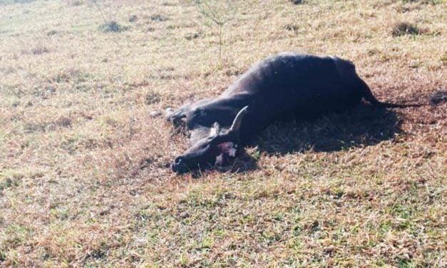Confirmado um caso de raiva em bovino no município de Oriente, na região de Marília